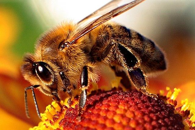640px-Bee-apis